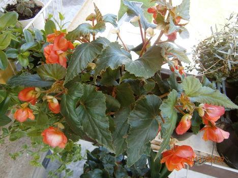 Nyári virágaim. 11