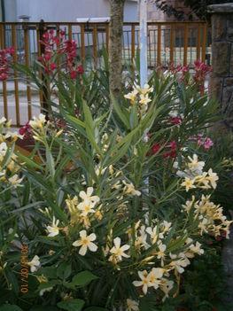 Nyári virágaim. 2