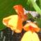 Napsütötte babvirág