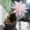 Kaktuszom virágzik