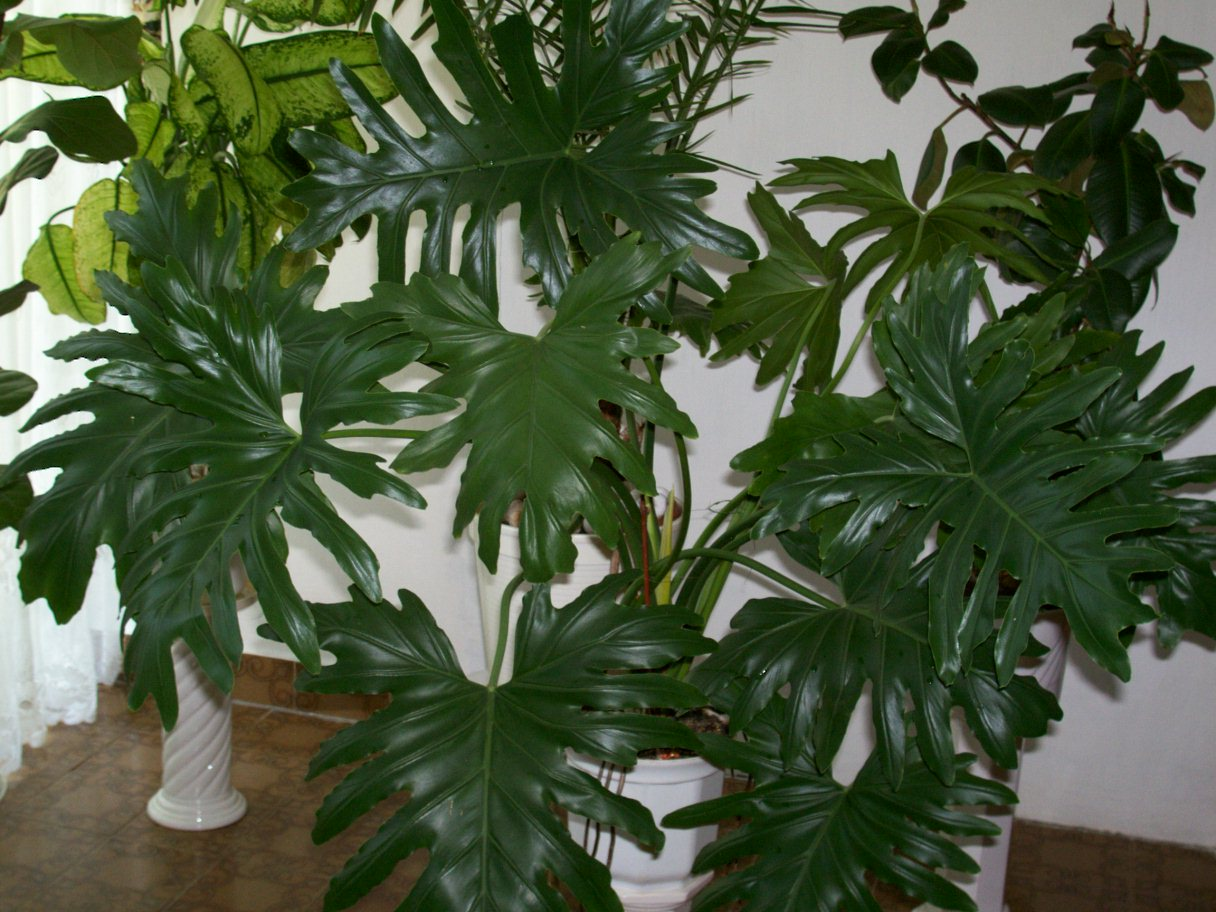 Very Low Light Plants Fr 233 Zia Gum 243 S Filodendron K 233 P