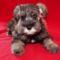 schnauzer_puppy_wallpaper