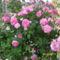 törzses rózsa kinyílva