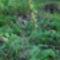 Nőszőfű a Hosszúhegyről (Pilis-hegység)