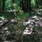 Nőszőfű Pilisről (Pilis-hegység)