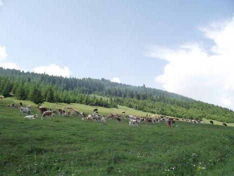 táj tehéncsordával
