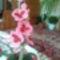 első orchideám