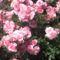 2013 kertem rózsái 014