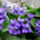Patakiné Ibolya virágai