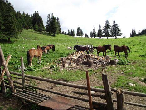Esztenák lovak