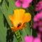 Eschscholzia californica 'Orange King'  - Kaliforniai díszmák