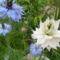 Fehér és kék borzaskata - Nigella damascena 'Miss Jekyll Blue' és 'Alba'