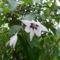 Gladiolus callianthus - Csillagkardvirág