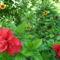 Hibiscus rosa-sinensis 2