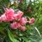 Nerium Oleander 'Splendens Giganteum'