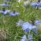Nigella damascena 'Miss Jekyll Blue' - Borzaskata (kék)
