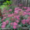 Spiraea bumalda 'Anthony waterer' - Pompás gyöngyvessző