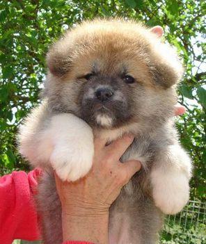 AKITAkoichikara_puppy_2006