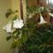 cicamica 16  angyaltrombita lakásban virágzó