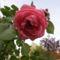 Cicamica virágai 2012-13 10  rózsaszál