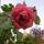 Cicamica_viragai_201213_10__rozsaszal_1702613_3451_t