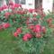 Cicamica virágai 2012-13 11  rózsabokor