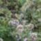 Cicamica virágai 2012-13 12    virágzó kakukkfű fűszernöv.