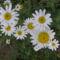 Cicamica virágai 2012-13 14  Margitvirág