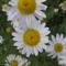Cicamica virágai 2012-13 15  Margitvirág