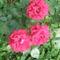 Cicamica virágai 2012-13 5  rózsabokor részlet
