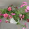 Cicamica virágai 2012-13 8  csüngő petúnia