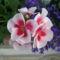 Cicamica virágai 2012-13 9  muskátli +lobélia