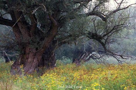 Csodás fűzfa (Bilek Ferenc felv.)