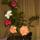 karácsonykor virágzott-hibiszkusz