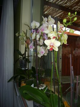 Orhideám