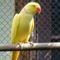 papagáj 15