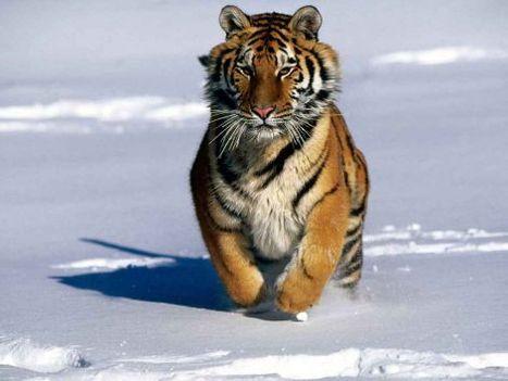 tigris kép 4