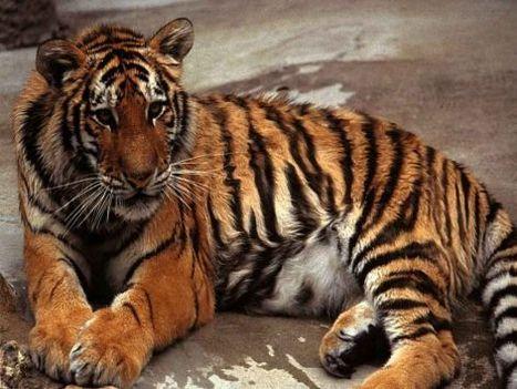 tigris kép 9