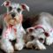 two_cute_schnauzers_picture