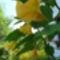 Brugmansia 'Charles Grimaldi' - Angyaltrombita aranysárga