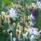 Lonicera japonica 'Halliana' - Örökzöld japán lonc