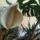 Virágzik a Filodendron,Könnyező pálma a munkahelyemen