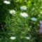 Leucanthemum 'Wirral Supreme' - Margitvirág