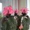 jakobina virágosan
