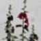 Alcea rosea 'Burgundy Hood' - Mályvarózsa
