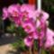 feleségem orhideái
