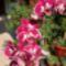 feleségem orhideái 2 DSCF0097