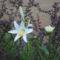 Lilium candidum - Madonna liliom