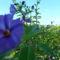 Solanum rantonetti - Encián