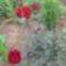 Vörös rózsa